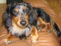 Harley David - Miniature Dachshund Stud Dog