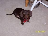 buster brown deloach - Miniature Dachshund Stud Dog